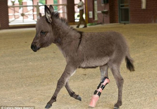 Emma the Miniature Donkey
