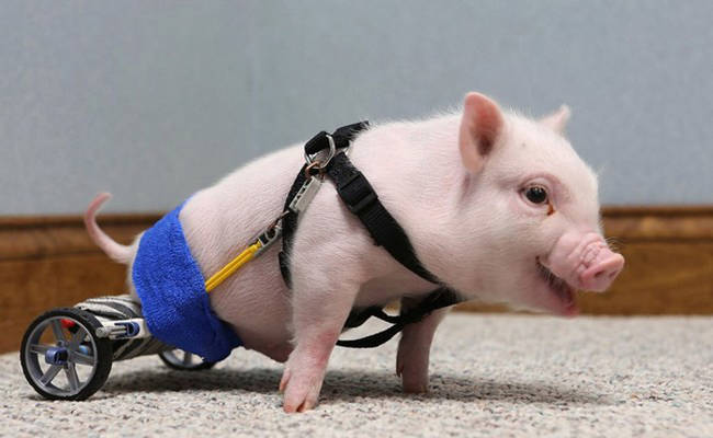 Chris P. Bacon the Pig